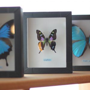 蝶の標本 木の家