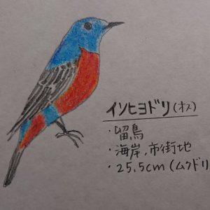富士市でイソヒヨドリを見ました