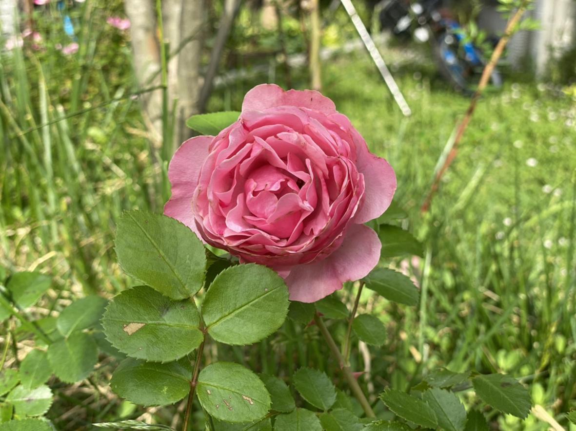 薔薇、季節の花