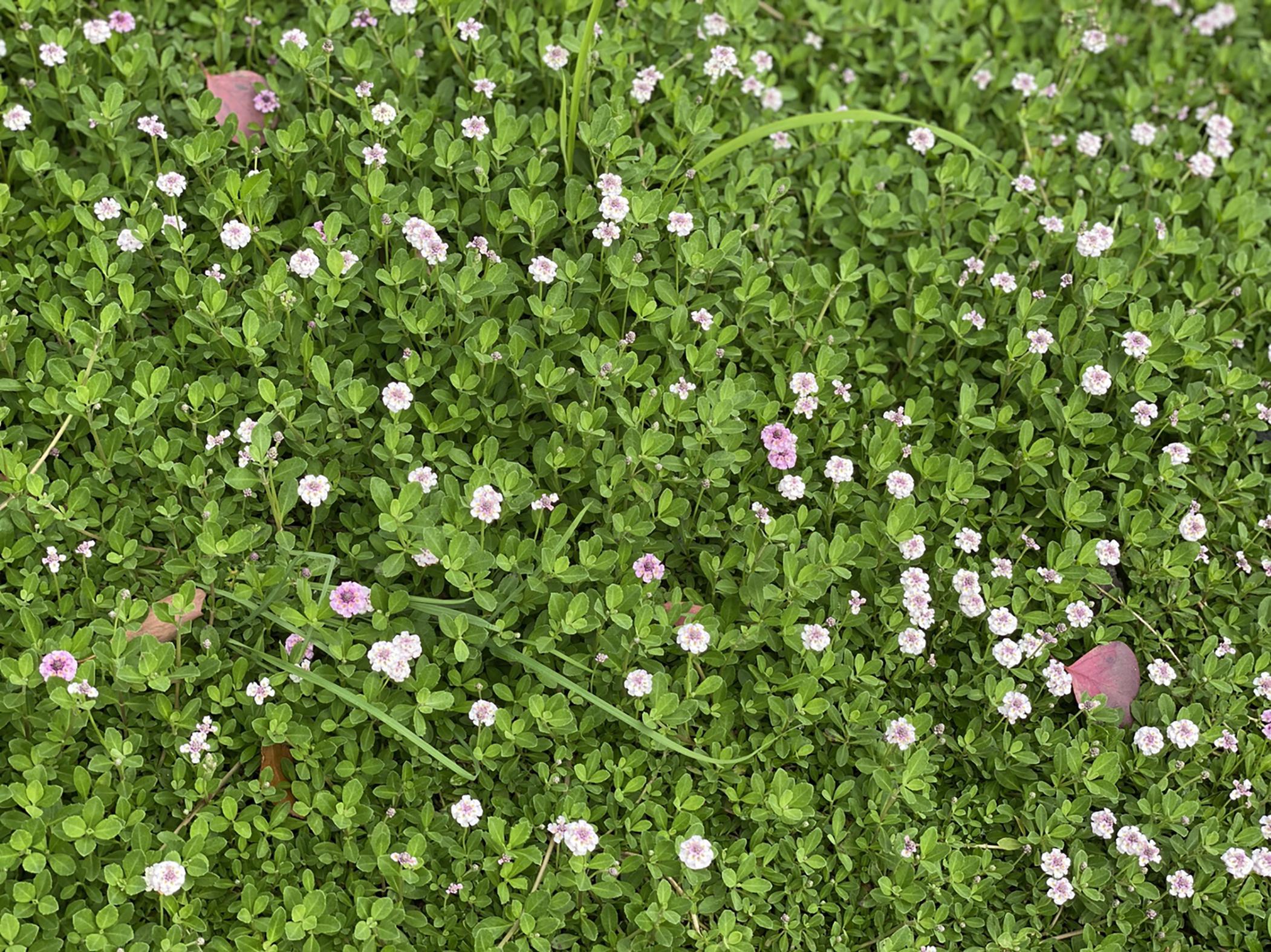 イワダレソウの花、フランドカバー