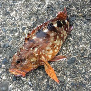 沼津で釣ったカサゴ