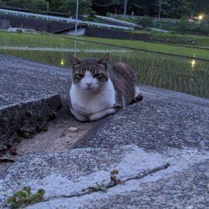 富士宮、芝川の夕方の猫