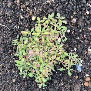 ヒメイワダレソウ、施工中の庭の植栽