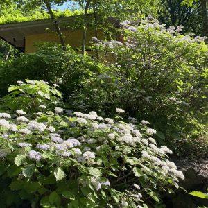 富士宮市の木の家の庭の山紫陽花