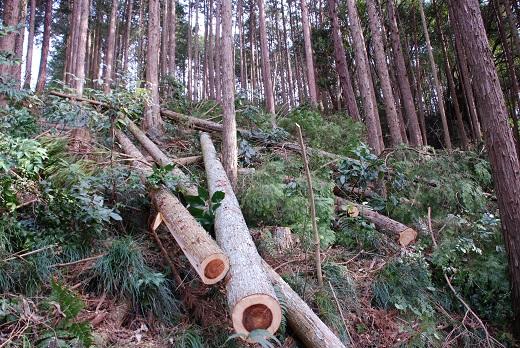 今年の仕事始めは森の間伐です。