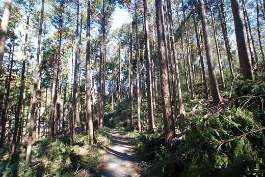 富士宮の森の間伐が終わって、朝日が入るようになりました