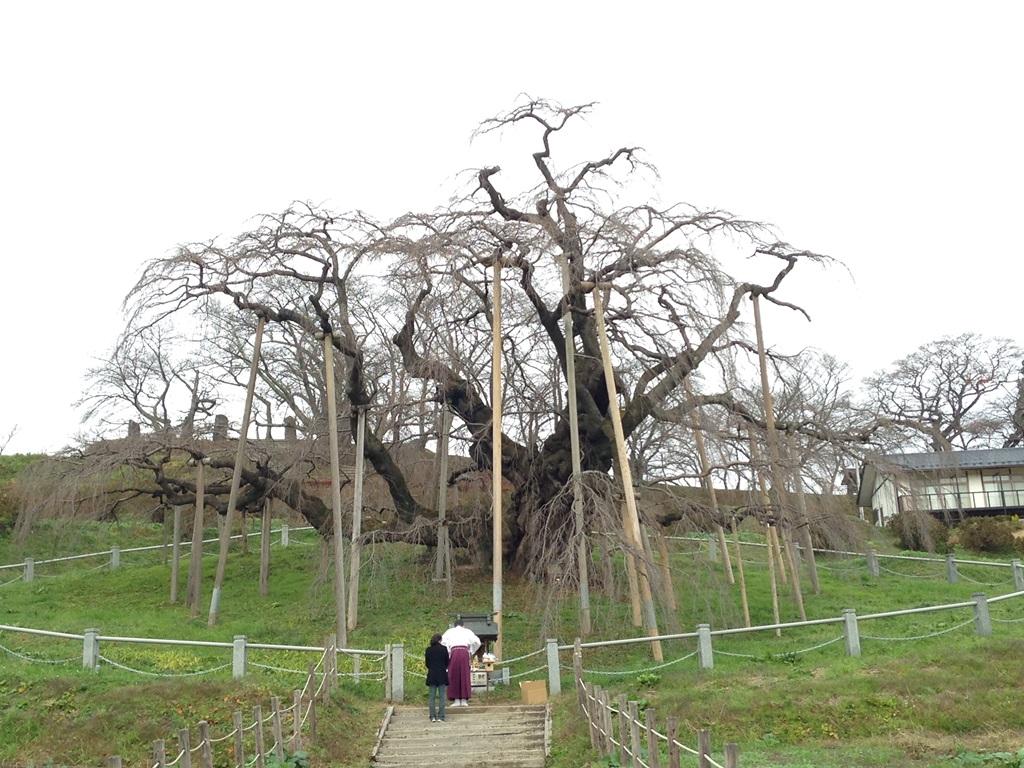 日本三大桜の1つ、福島の三春の滝桜